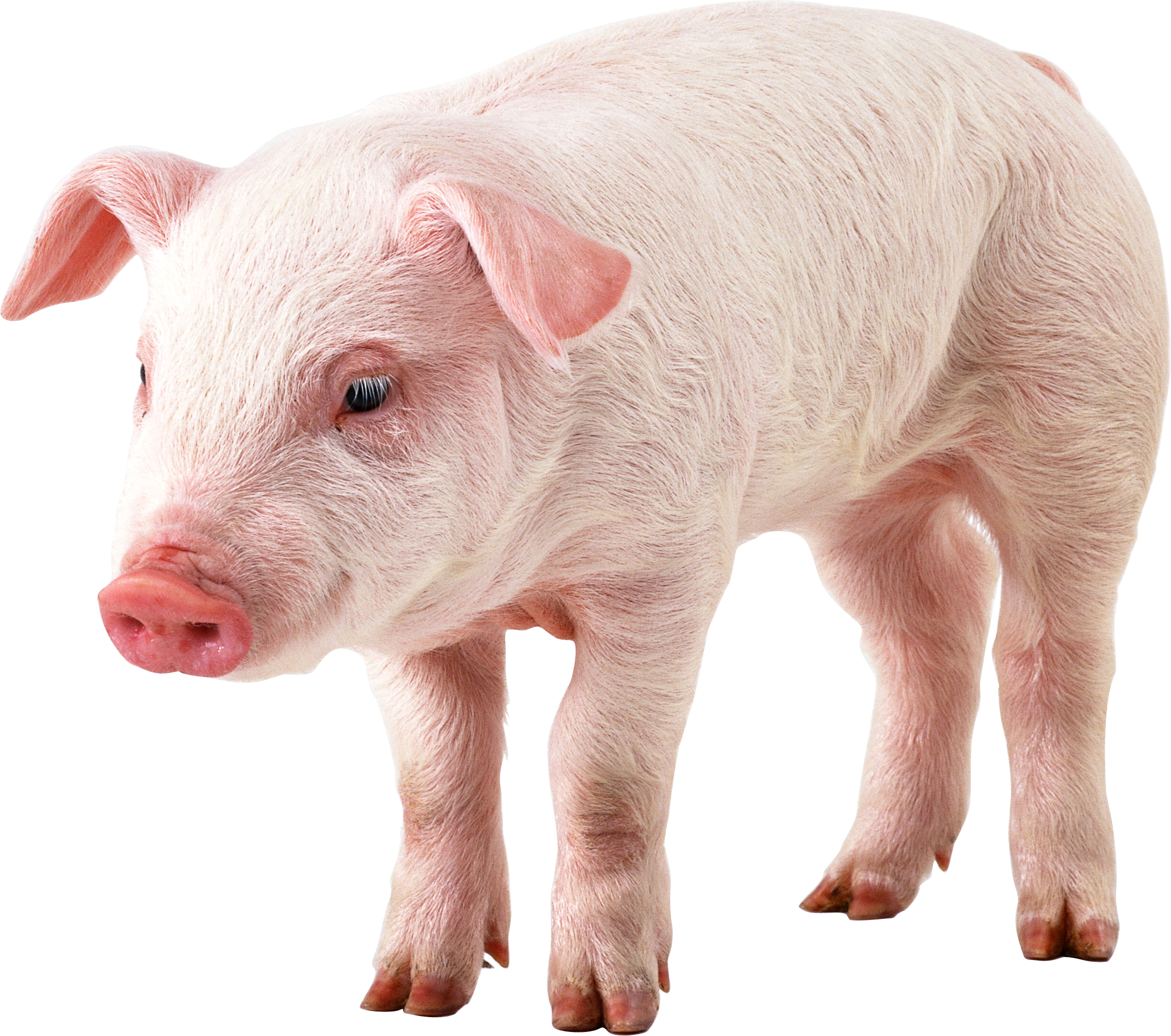 Hog vector angry pig. Hq png transparent images