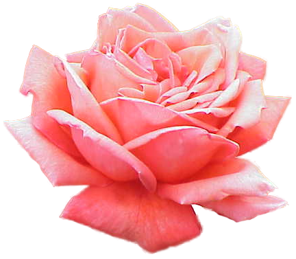 Transparent pink png. File extracted rose wikimedia