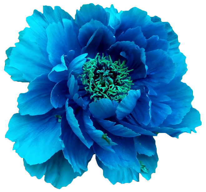 Transparent png flower images. Flowers transparentflowers blue peony