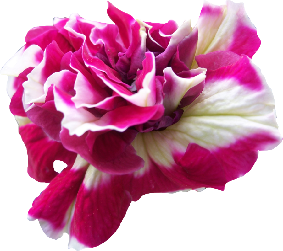 Transparent png flower images. By thy darkest hour