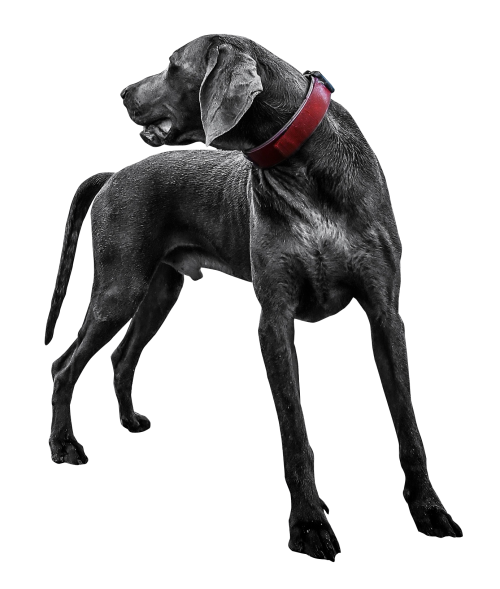 Transparent png images download. Black labrador dog image