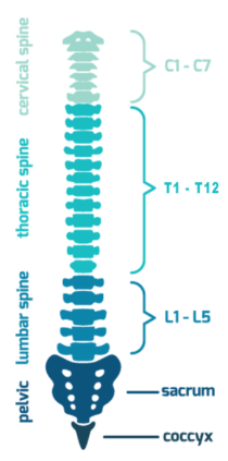 Spine png. What is spinal cord