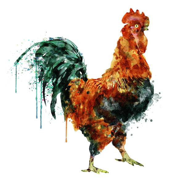 Watercolor painting t shirt. Transparent rooster clip freeuse