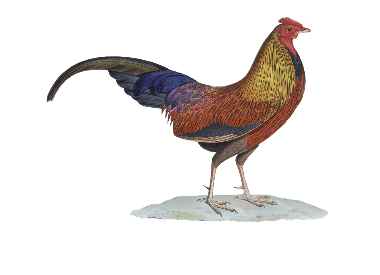 Transparent rooster drawing. Png stickpng download