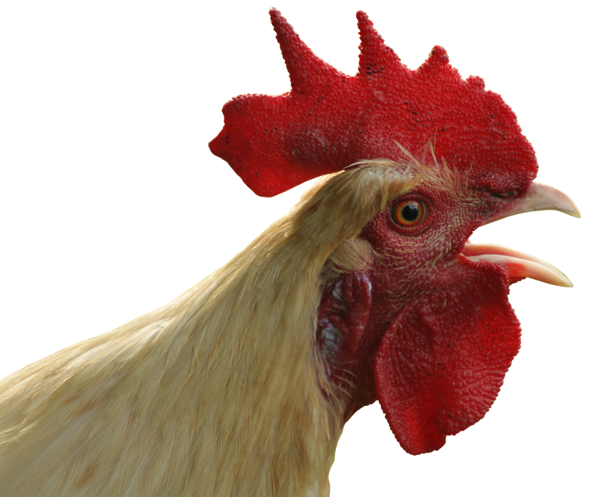 Transparent rooster head. State of the union