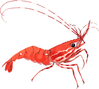 Transparent shrimp clear. Recommendations from the seafood