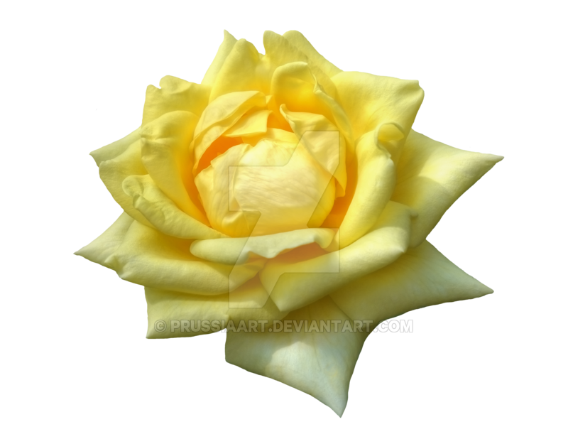 Transparent tea yellow. Flower of roses on