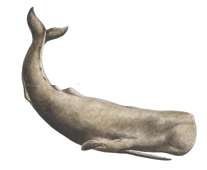 Transparent whale beached. Sperm png by lg