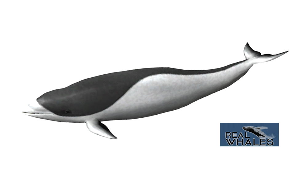 Transparent whale beluga. Southern right dolphin png