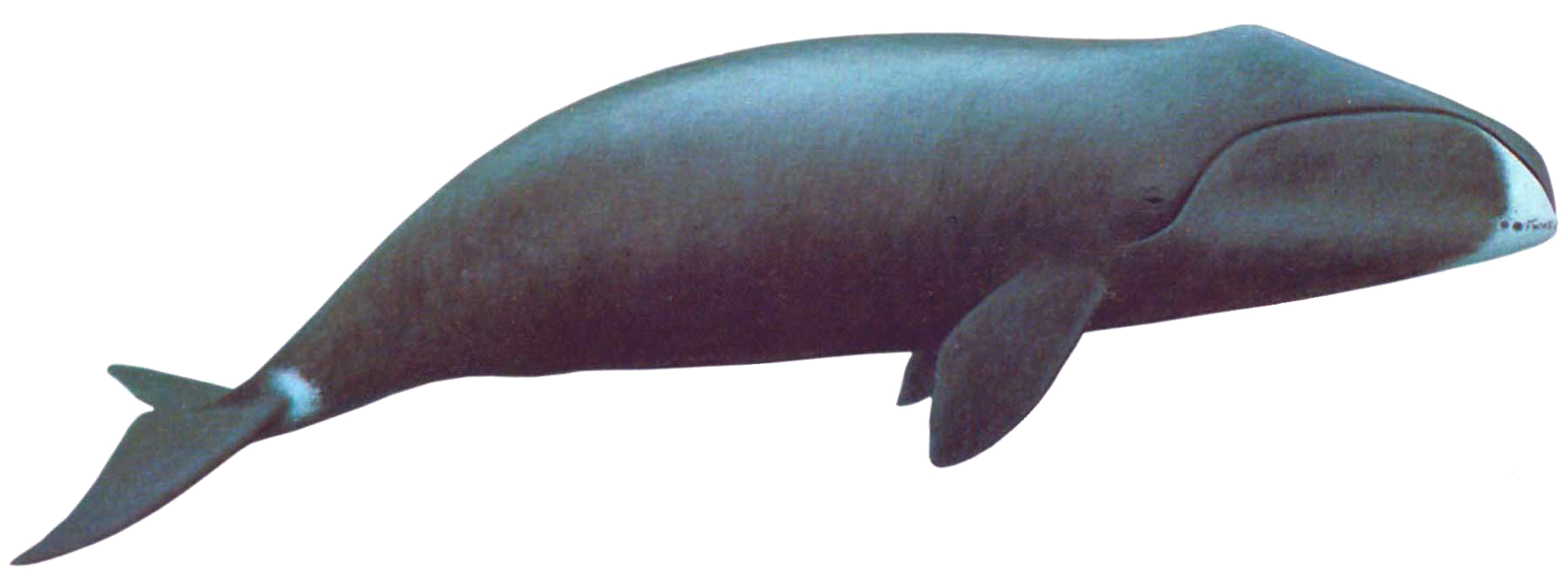 Transparent whale tiny floating