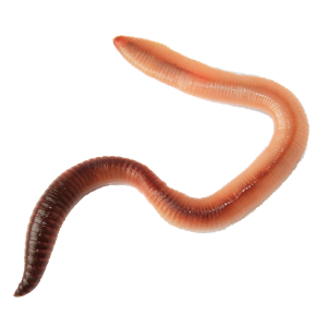 Transparent worm. Download free png earthworm