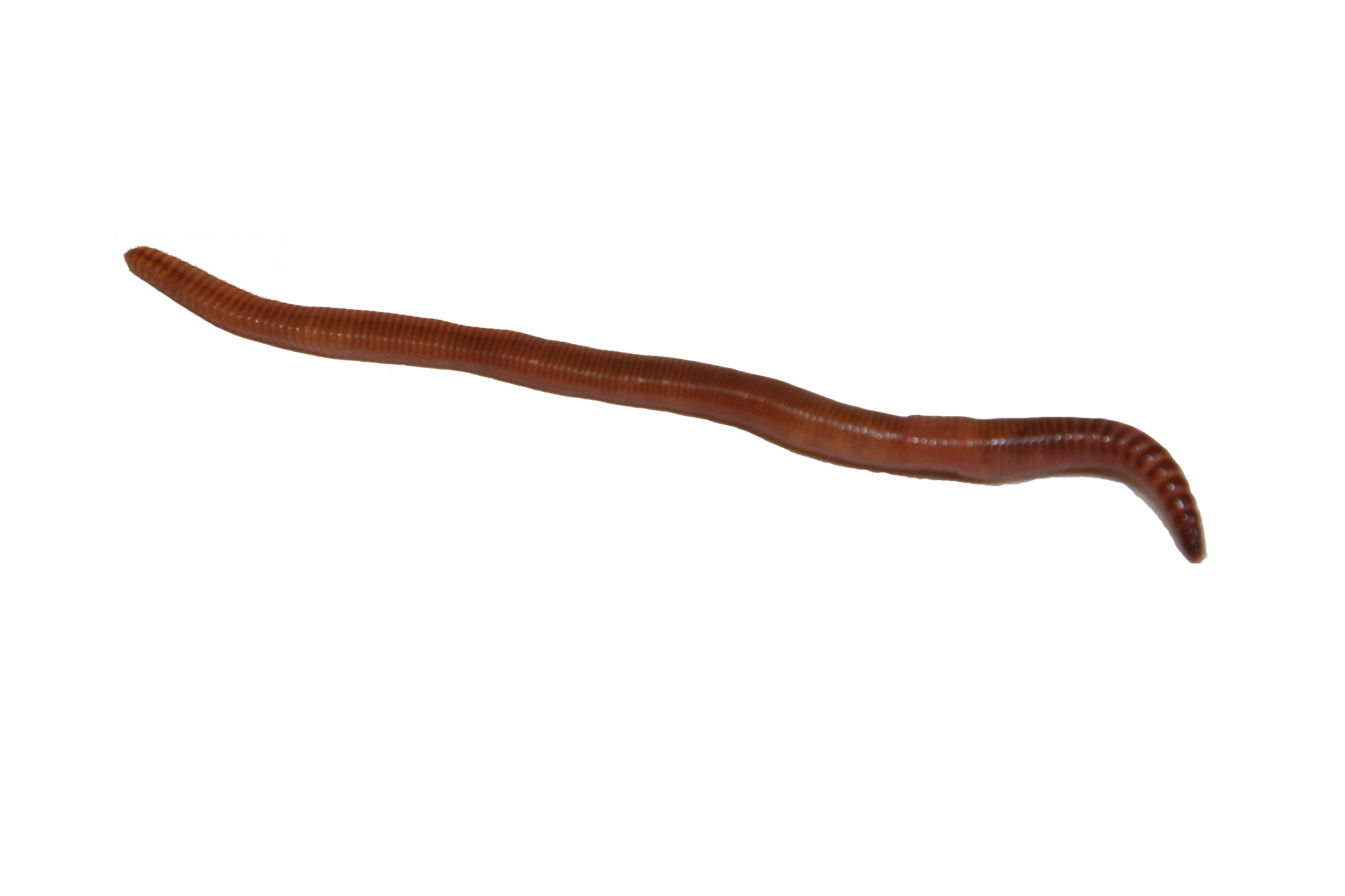 Transparent worm. Earthworm png image with