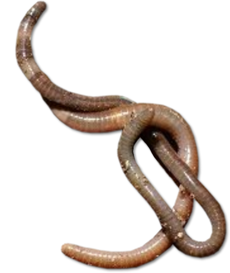 transparent worms ffxi