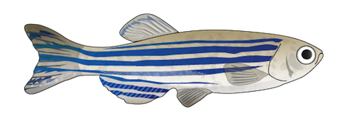 Transparent zebrafish clear. File png wikimedia commons