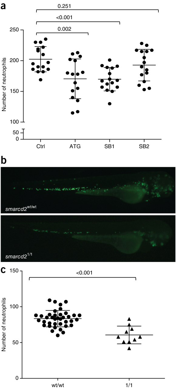 Transparent zebrafish hpf. Smarcd deficiency in a