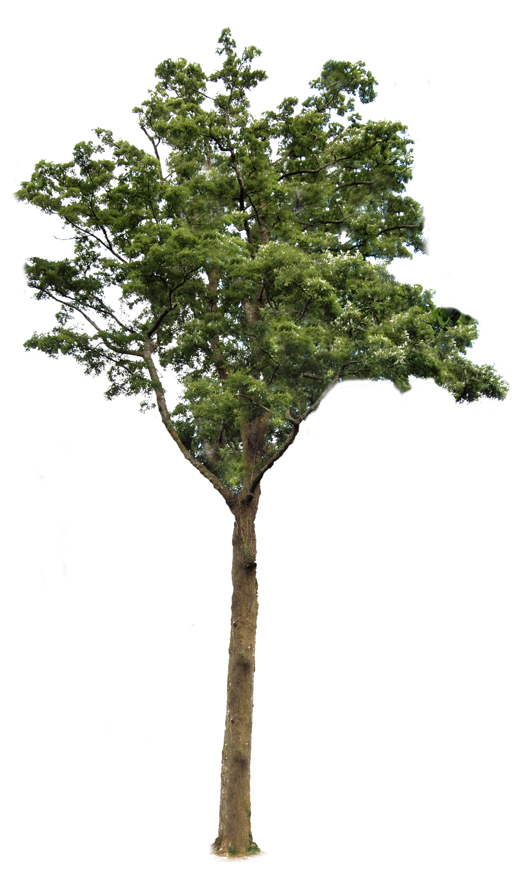 Trees png transparent bg. Tree with background transparentpng