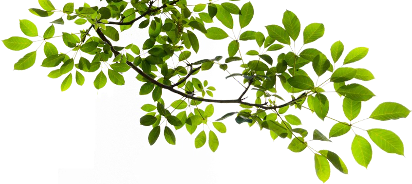 Tree branch png. Image transparent animal jam