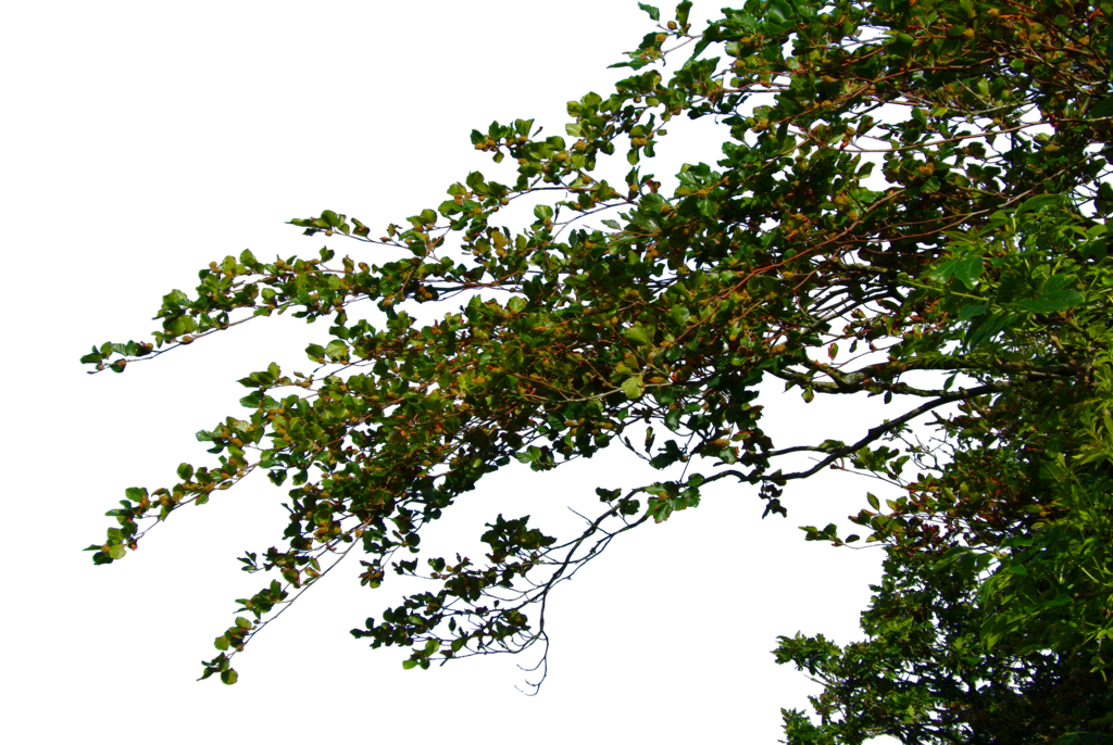 Tree branch png. Transparent images all highquality