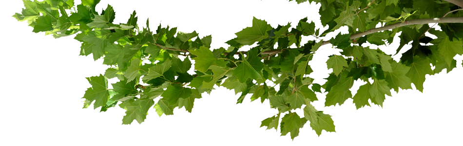 Tree branch png. Limb transparent images pluspng