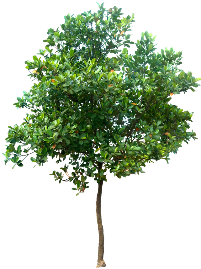 Tree elevation png. Free images artocarpus