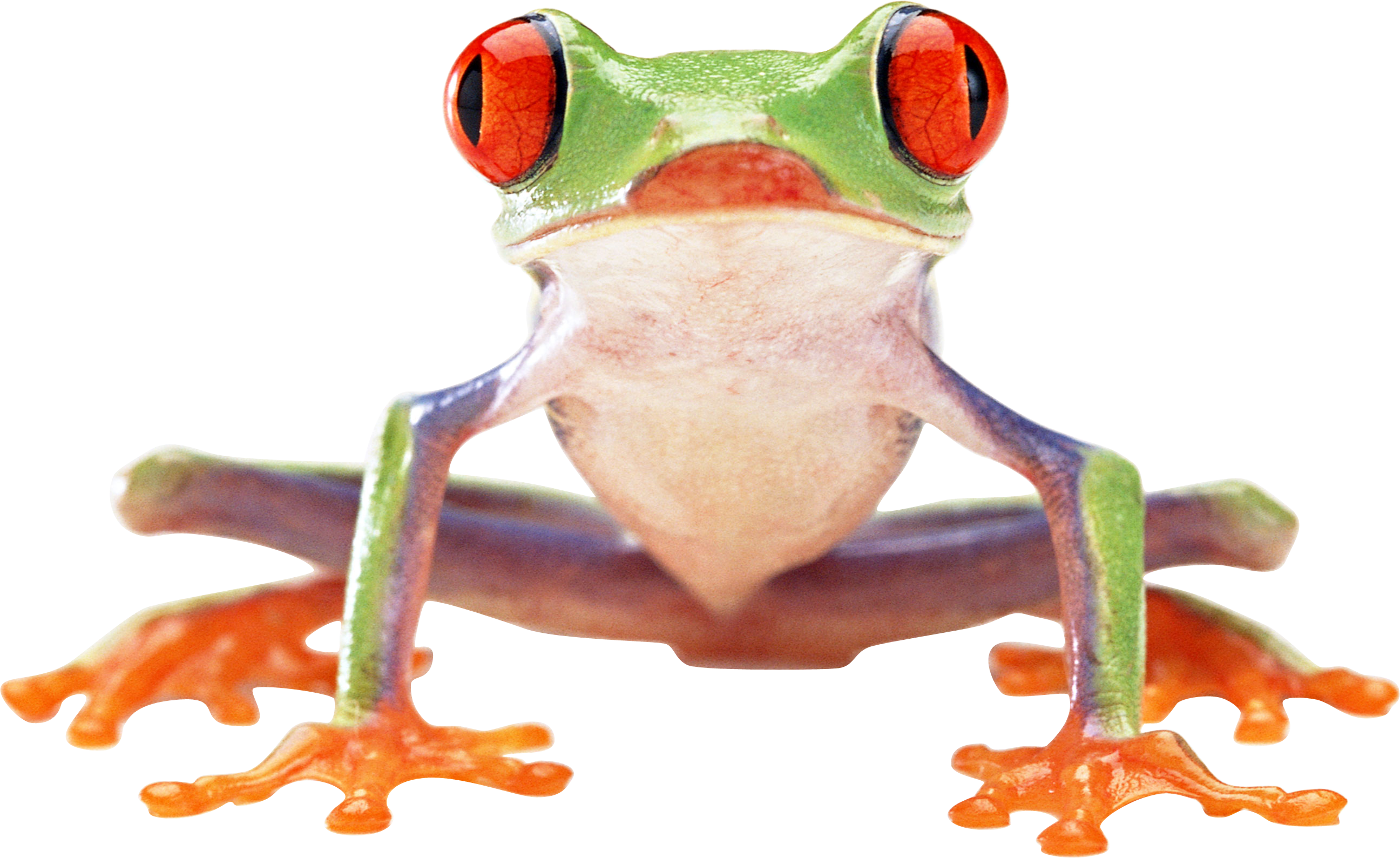 Tree frog png. Transparent pictures free icons