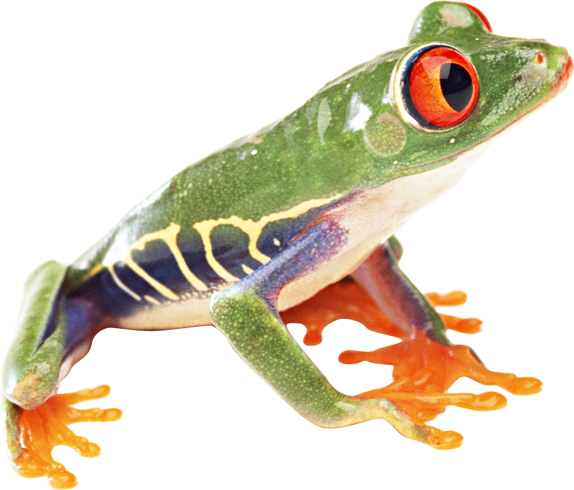 Tree frog png. Image red eyed frogs