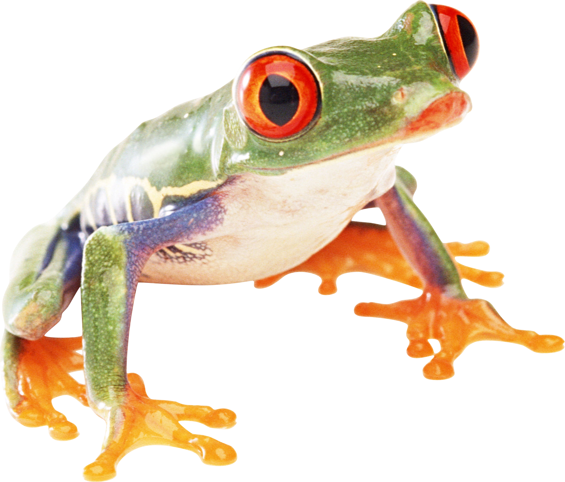 Tree frog png.