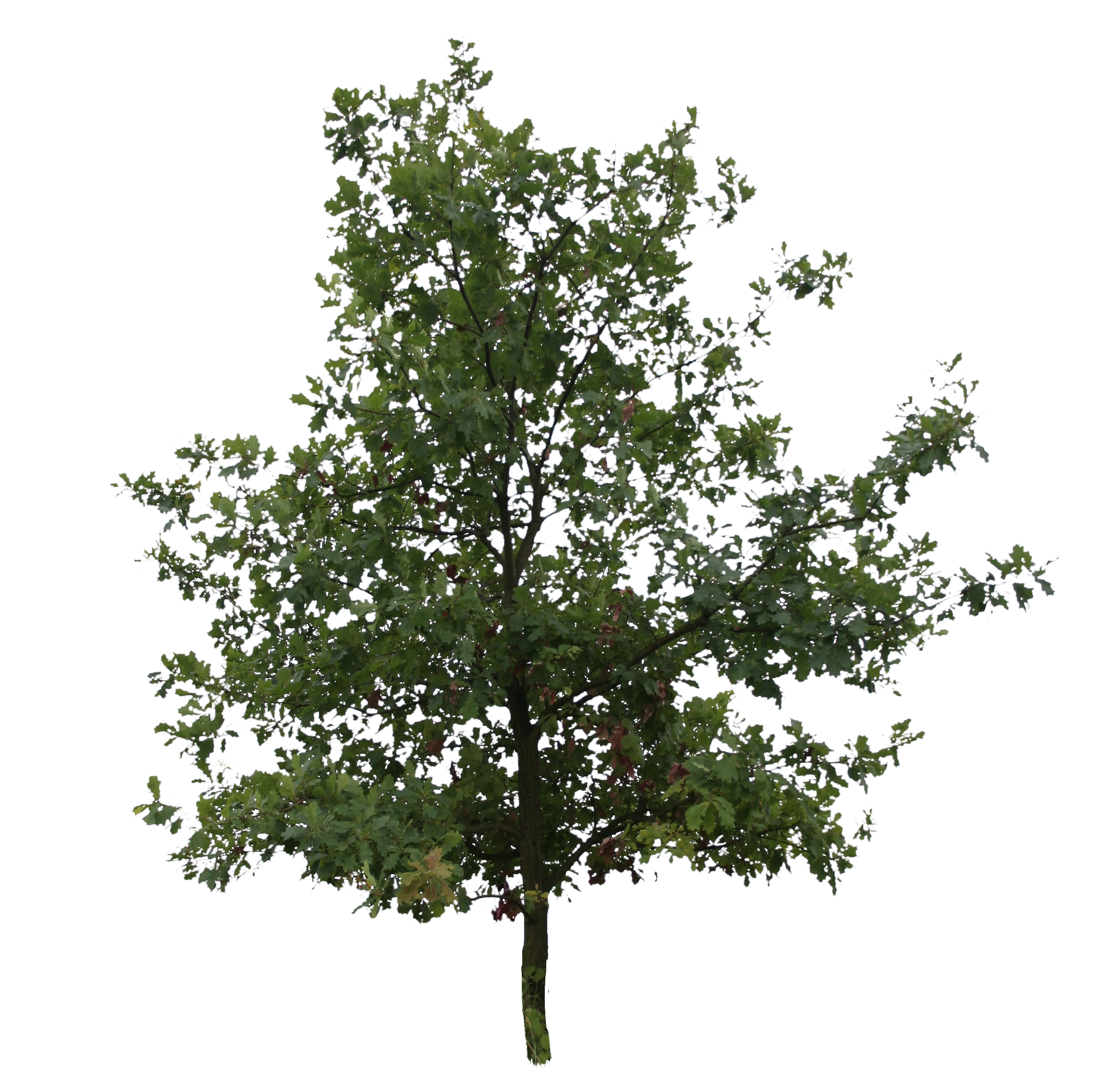 Oak tree png. Young free cut out