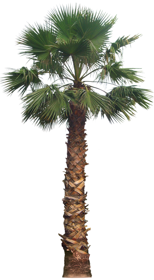 Tree palm png. Transparent images pluspng free