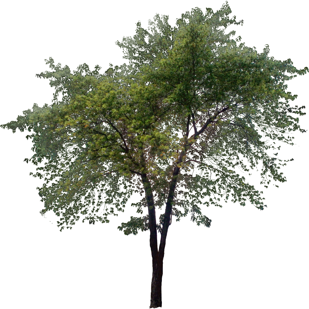 Tree photoshop png. Tall ph pinterest architecture