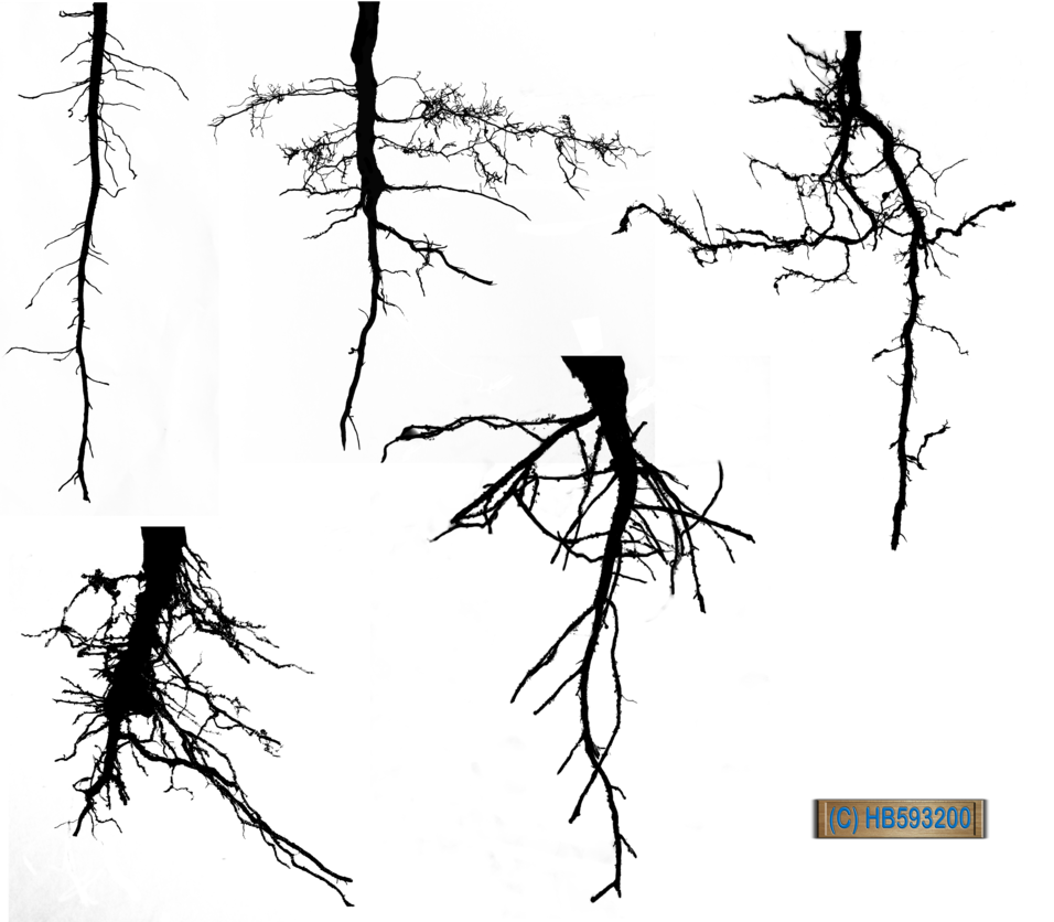 Shrubs silhouette png. Root pack hb by