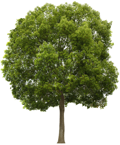 Tree texture png. Download free transparent image