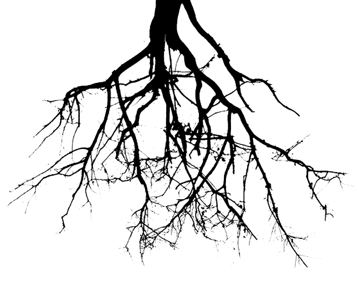 Tree with roots png. Drawn pencil and in