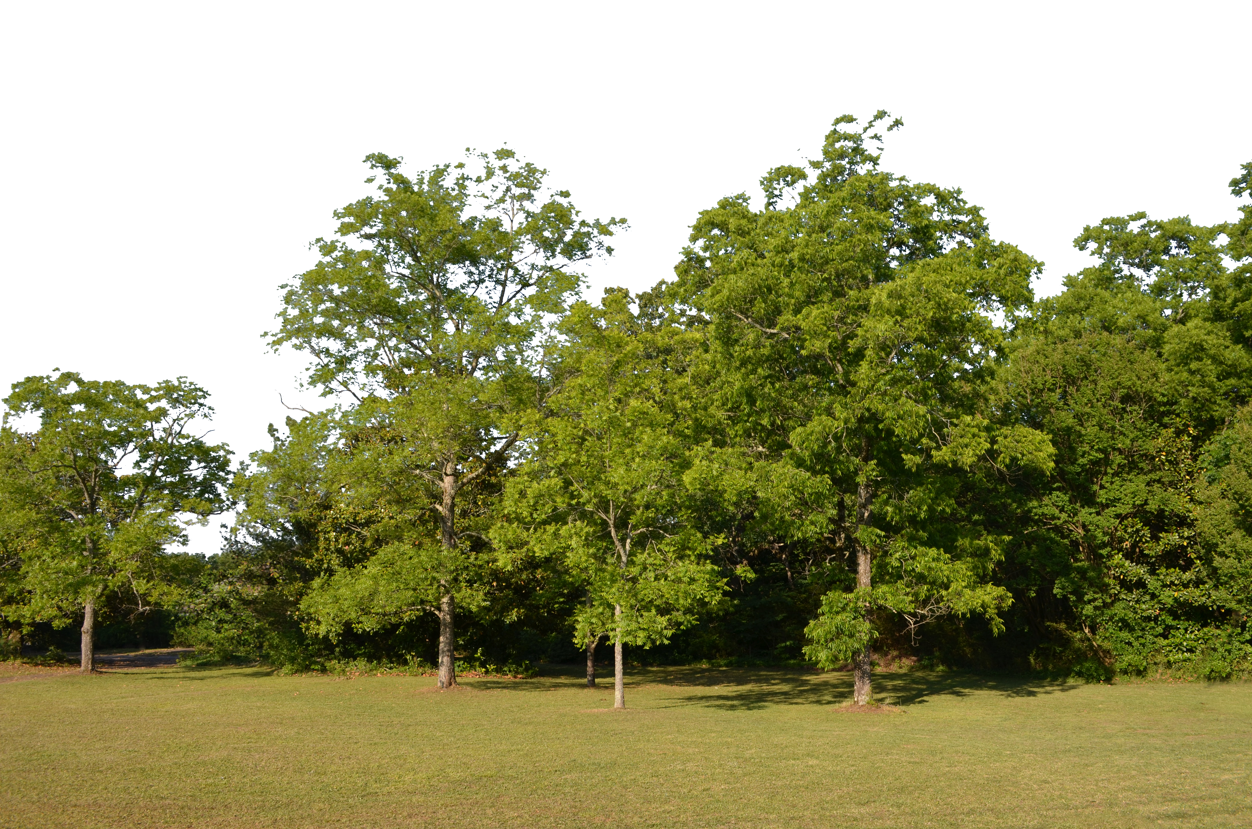 Trees background png. Forest clearing stock copy