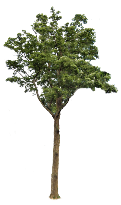 Trees background png. Download tree free transparent
