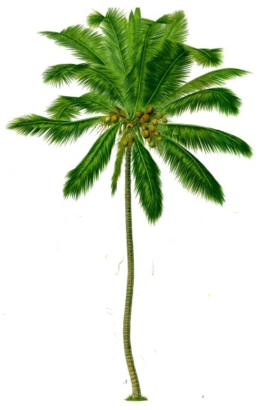 Coconut tree png. Palm clipart no background