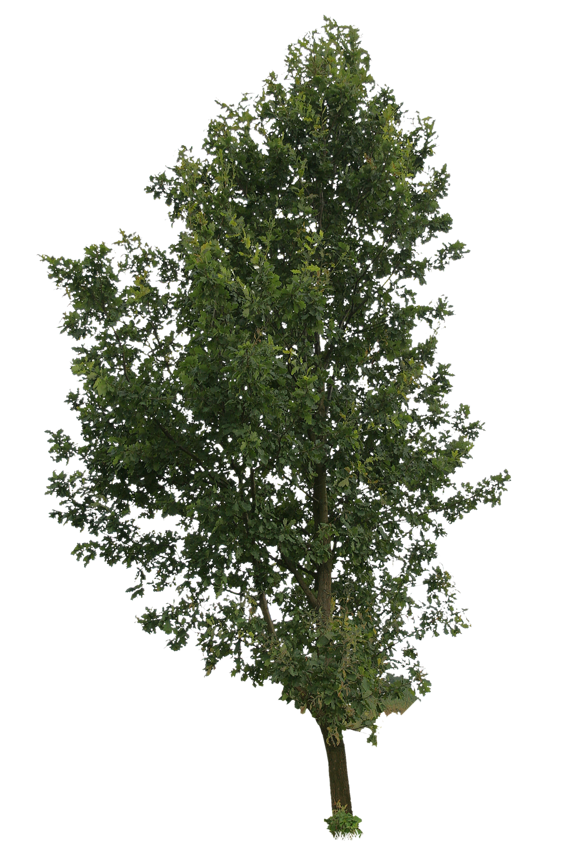 Trees in png format. High tree free cut