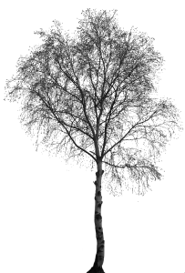 Trees png black and white. Birch tree transparent images