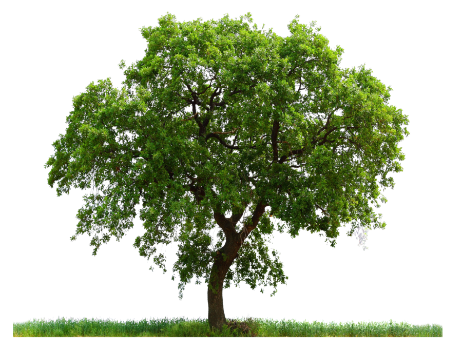 Tree .png. Fifty one isolated stock