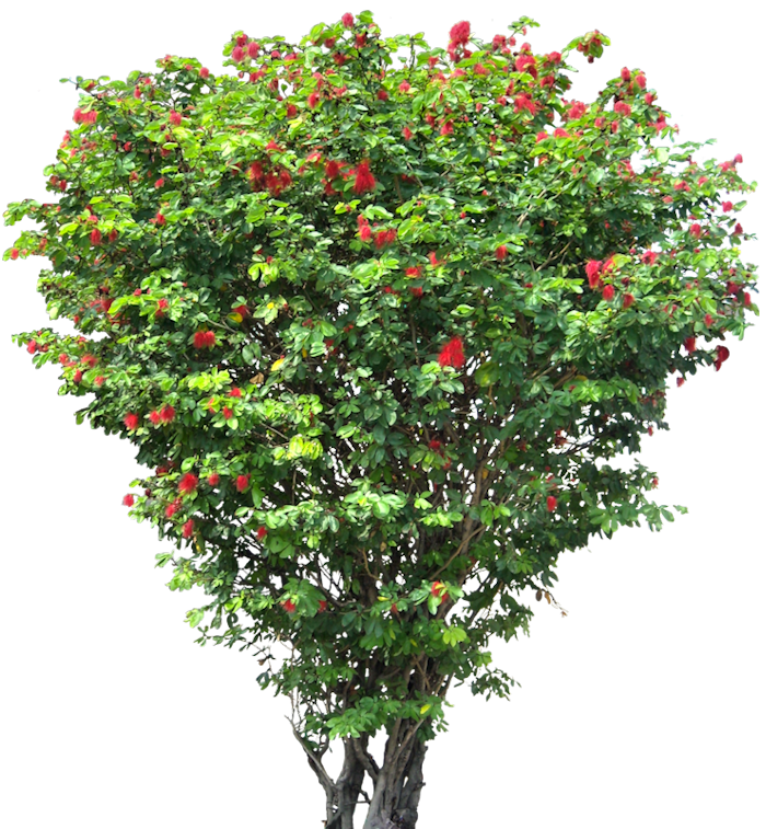 Trees png free download. Tree images caliandrahl