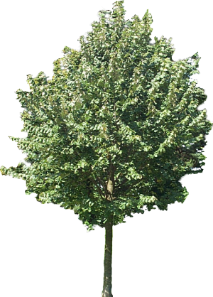 Trees texture png. Using plane textures for