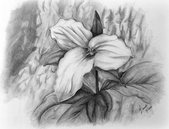 Trillium drawing. Mike dunk s paper