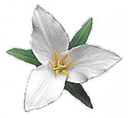 Trillium drawing flower. Sketch at paintingvalley com