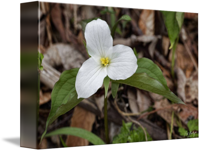 Trillium drawing flower ontario. A new bloom by