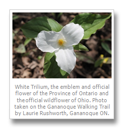 Trillium drawing flower ontario. Ti life in may