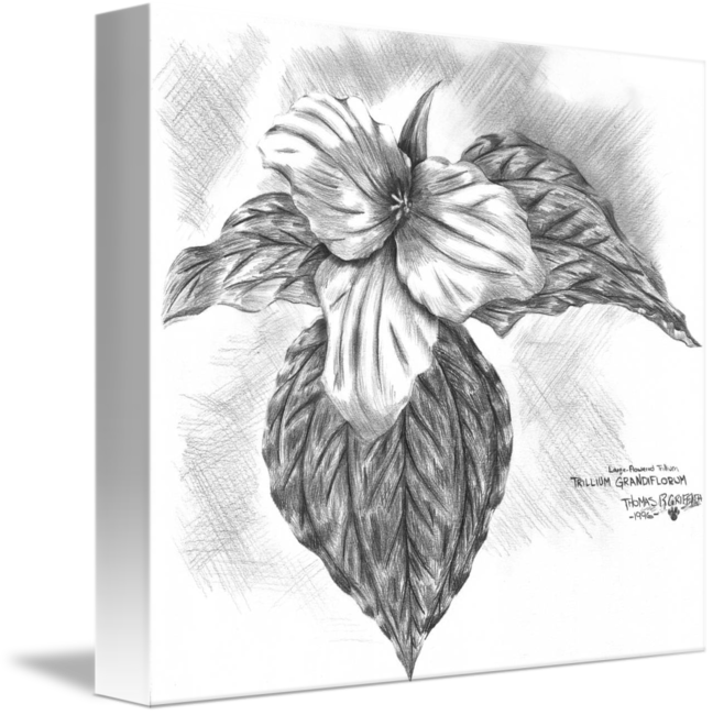 Trillium drawing flower. By thomas griffith
