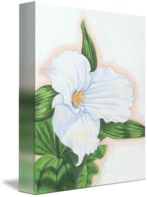 Trillium drawing flower. By casey l carter