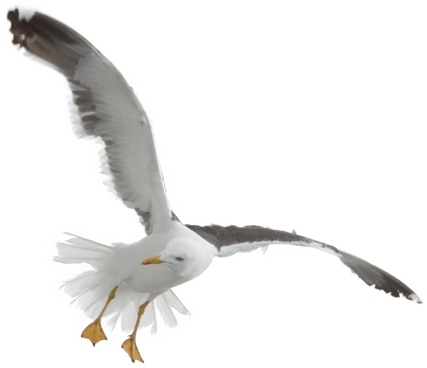 seagull png