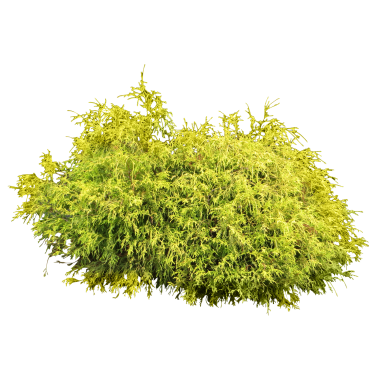 Tropical bushes png. Lumpy juniper bush photoshop