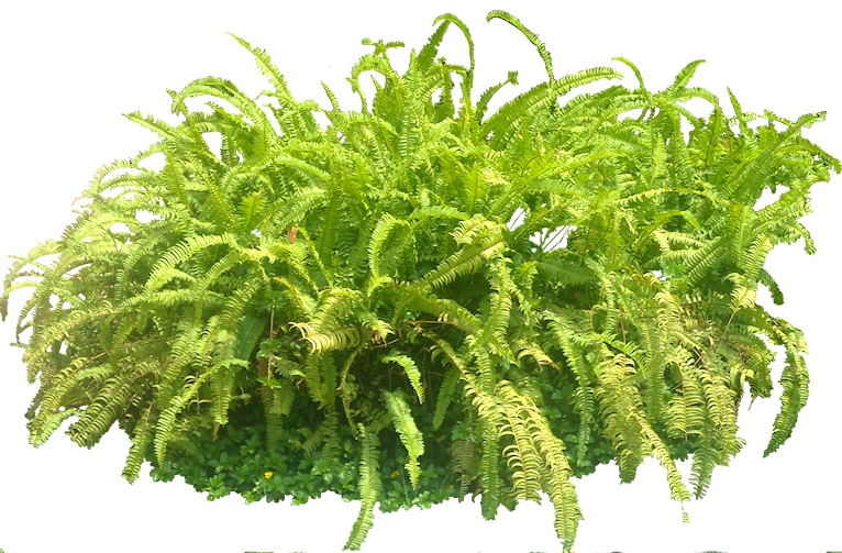 Tropical fern png. Plant pictures nephrolepis sp